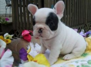Cute French Bulldog Puppies For Sale Durban Free Classifieds