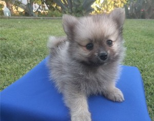 Toy Pomeranian Puppy For Sale Durban Free Classifieds In South
