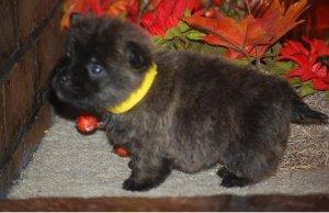 Cairn Terrier puppies for sale - Lichtenburg - free