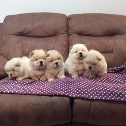 Fantastic Chow Chow Puppies Ready Durban Free Classifieds In