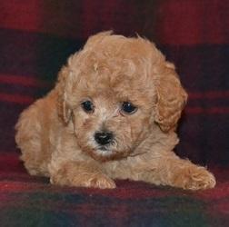 Adorable Cute Miniature Poodles! - Cape Town - free