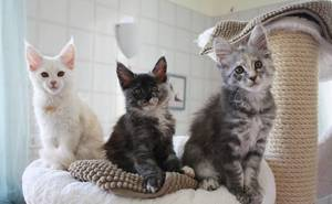 Purebred European Maine coon kittens  - Cape Town - free