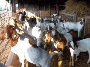 Boer Goats for Sale - Delmas - free classifieds in South Africa