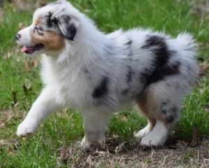 Registered Australian Shepherd Puppies - Knysna - free ...