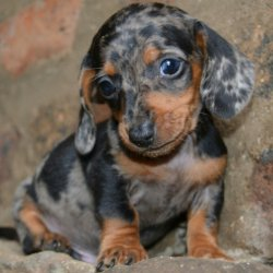Miniature dachshund puppies for sale - Witbank - free classifieds in