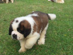 Mega Saint Bernard pups 10 weeks old for sale Charming Male