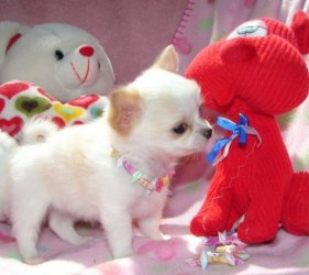 Miniature chihuahua puppies for sale  - Klerksdorp - free