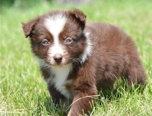 Australian shepherd puppies for sale - Durban - free classifieds in