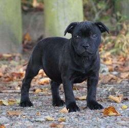 Affectionate Staffordshire Bull Terrier Puppies For Sale