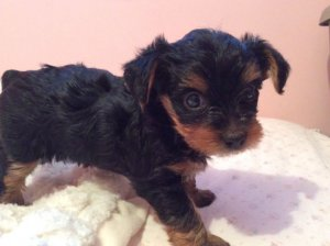Little Tiny Teacup Yorkie Puppies for sale - Johannesburg - free