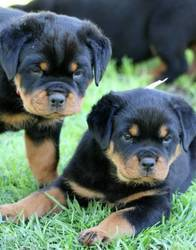 Huge Head Rottweiler Puppies For Sale for sale Now - Durban - free