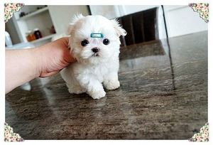 Micro Teacup Maltese puppies for sale - Centurion Central - free