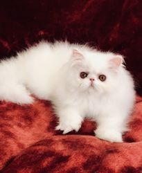 Purebreed pedigree white Persian kittens for sale - Centurion - free