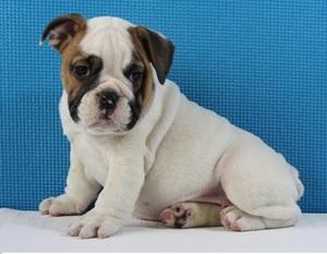 English Bulldog puppies ready forever home - Aliwal North - free
