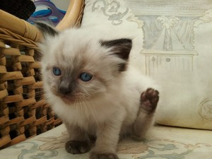 ragdoll kittens for sale durban free classifieds in south africa