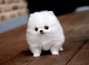 Toy Pomeranian Puppies For Sale Johannesburg Free Classifieds In